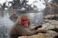 Wild Snow Monkeys